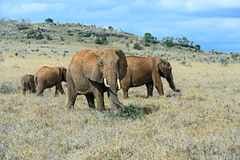 African elephants in the savannah Royalty Free Stock Image