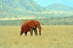 African elephants in the savannah Stock Image