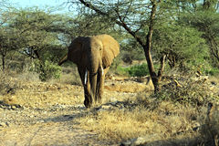 African elephants in the savannah Royalty Free Stock Photos