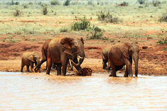 African elephants in the savannah Royalty Free Stock Photography