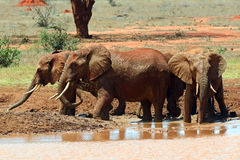African elephants in the savannah Stock Images