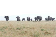 African elephants in the Savannah during rain Royalty Free Stock Images