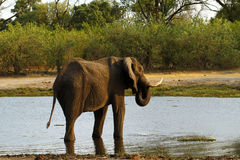 African Elephants on Savuti Channel Royalty Free Stock Photos