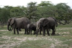 African elephants, Selous National Park, Tanzania. Herd of elephants in the Selous National Park of Southern Tanzania Stock Photo