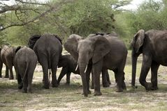African elephants, Selous National Park, Tanzania. Herd of elephants in the Selous National Park of Southern Tanzania Royalty Free Stock Image