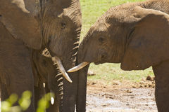 African elephants showing some affection Stock Photography