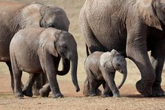 African elephants, South Africa Stock Photo