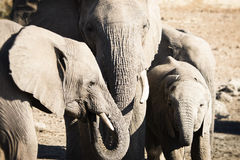 African Elephants Stand Together in A Family Group Royalty Free Stock Photo