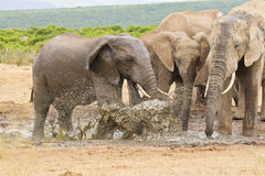 African elephants standing and splashing water in a water hole Royalty Free Stock Photography