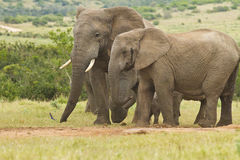 African elephants standing together at a water hole Stock Photo