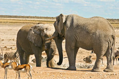 African Elephants standoff at the waterhole. African Elephant (Loxodonta Africana) is enormous and unmistakable as the largest land animal on earth.  Adults have Stock Photos