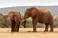 African elephants staring at each other Stock Photography