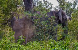African elephants take a dust bath in the bush. African elephants take a dust bath to control insects in the African bush image in landscape format royalty free stock photography