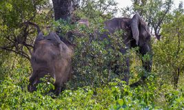 African elephants take a dust bath in the bush. African elephants take a dust bath to control insects in the African bush image in landscape format stock images