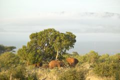 African Elephants taking a dust bath in Tsavo National Park, Kenya, Africa Stock Photo
