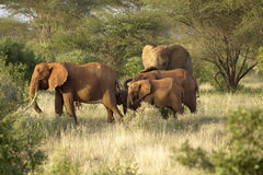 African Elephants taking a dust bath in Tsavo National Park, Kenya, Africa Stock Photography