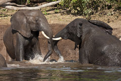 African Elephants taking a mud bath Stock Photo