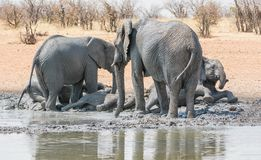 Elephant Mud Bath. African Elephants taking a mud bath at a watering hole in Namibia royalty free stock photography