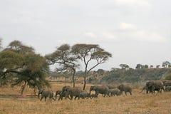 Elephants in tarangire. African elephants in the tarangire national park in tanzania Stock Photography
