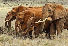 African elephants in Tsavo Stock Photos