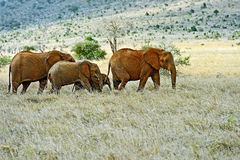 African elephants in Tsavo Royalty Free Stock Photography