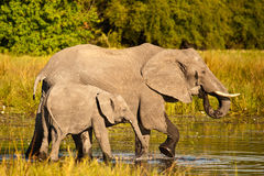 African Elephants wading. African Elephant (Loxodonta Africana) is enormous and unmistakable as the largest land animal on earth.  Adults have a life expectancy Stock Images