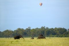 African Elephants walk with balloon overhead in grasslands of Masai Mara in Kenya, Africa Royalty Free Stock Photography