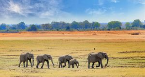 Panorama view of South Luangwa Plains with a herd of elephants walking across the dry yellow grass. African Elephants walking across the open plains in South Stock Photography