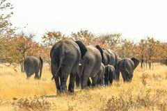 African elephants walking away Royalty Free Stock Photo