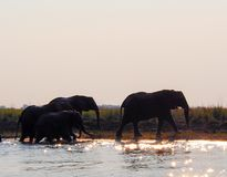 African elephants walking next to the river during sunset. African elephants walk next to the Choberiver during sunset. Water sparkles from sun during sunset stock photography