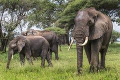 African elephants walking in savannah in the Tarangire National. Park, Tanzania Royalty Free Stock Images