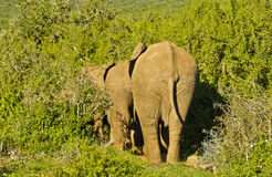 African elephants walking in a straight line into thick bush Stock Image