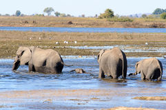 African Elephants walking through water Royalty Free Stock Photos