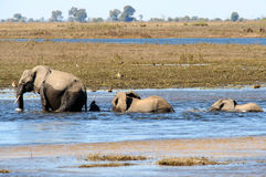 African Elephants walking through water Stock Photos