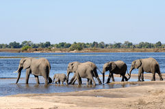 African Elephants walking through water. Elephants crossing through water in chobe Royalty Free Stock Images