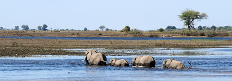 African Elephants walking through water. Elephants crossing through water in chobe Royalty Free Stock Photo