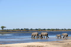 African Elephants walking through water Royalty Free Stock Photography