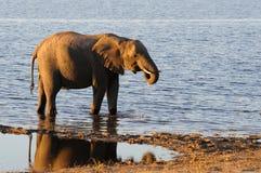 African Elephants walking through water Stock Image