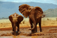 African elephants at a waterhole. African elephants in the Tsavo East National Park covered with mud royalty free stock photos