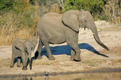 African elephants at waterhole Royalty Free Stock Images