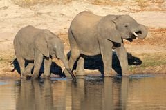 African elephants at waterhole Royalty Free Stock Photography