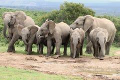African Elephants at Waterhole Stock Photo