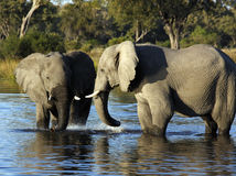 African Elephants - Waterhole - Botswana Royalty Free Stock Photo