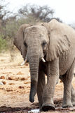 African elephants at a waterhole Stock Photography