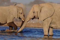 African elephants on a waterhole, etosha nationalpark, namibia Stock Photos