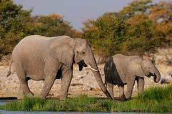 African elephants on a waterhole, etosha nationalpark, namibia Stock Photo