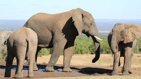 African elephants at waterhole stock video footage