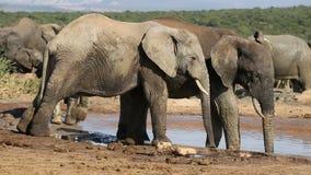 African elephants at waterhole stock video