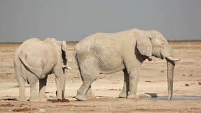 African elephants at waterhole. Two large African bull elephants (Loxodonta africana) at a waterhole, Etosha National Park, Namibia stock video