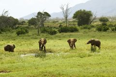 African Elephants at watering hole in Tsavo National Park, Kenya, Africa Stock Images